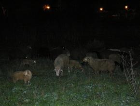Las ovejas, cuando fueron apartadas de la Nacional