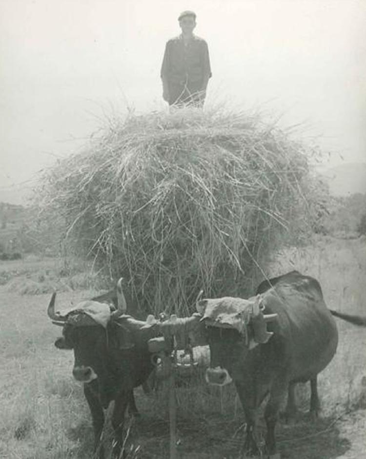 Santos Arias Rodríguez sobre el carro cargado de hierba, Rodanillo 1960-70